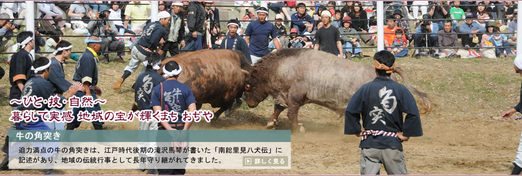 Fighting with horns of main _ slide 2_ cow